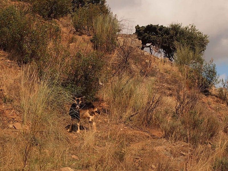spain_extremadura_goat_horn_river_walk_lame_goat