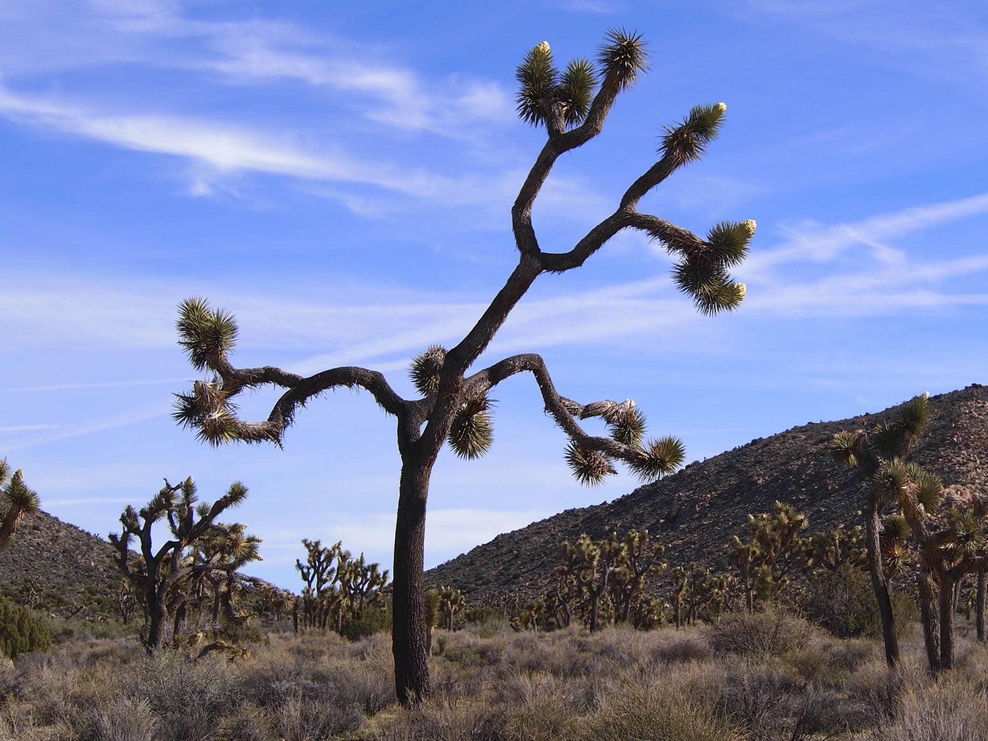 Joshua tree buds